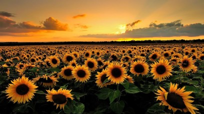 sunflowers (Google)